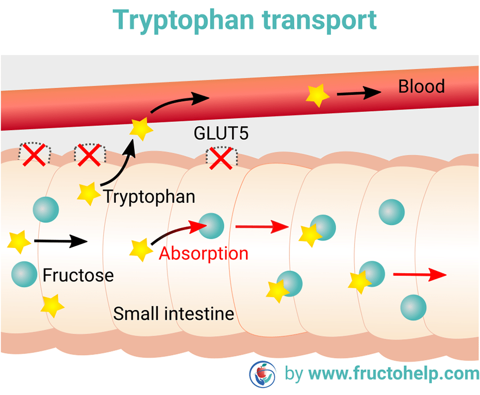 FructoHelp - Tryptophan Transport in case of Fructose Malabsorption - Fructose Malabsorption (Dietary Fructose Intolerance) and Depression - www.fructohelp.com